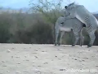 Interesting clip in which two Zebras make love outdoors